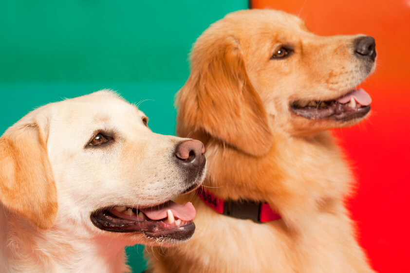 Canine therapy tips for paw protection